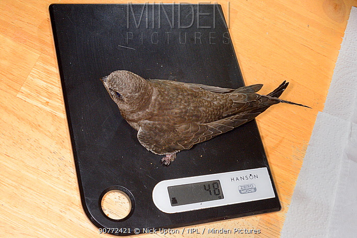 Orphaned Common swift chick (Apus apus) reared to full size by Judith Wakelam in her home, being weighed to check if it is ready to be released, Worlington, Suffolk, UK, July.