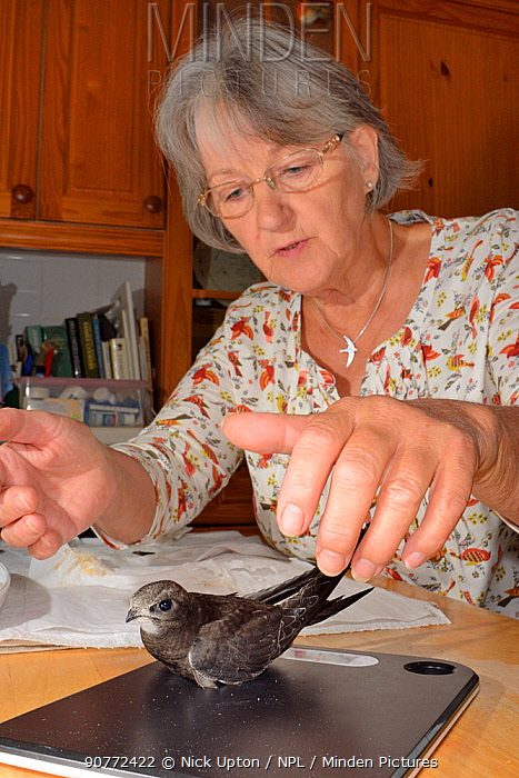 Judith Wakelam weighing an orphaned Common swift chick (Apus apus) she has reared in her home, to check if it is fully grown ready to be released, Worlington, Suffolk, UK, July. Model released.