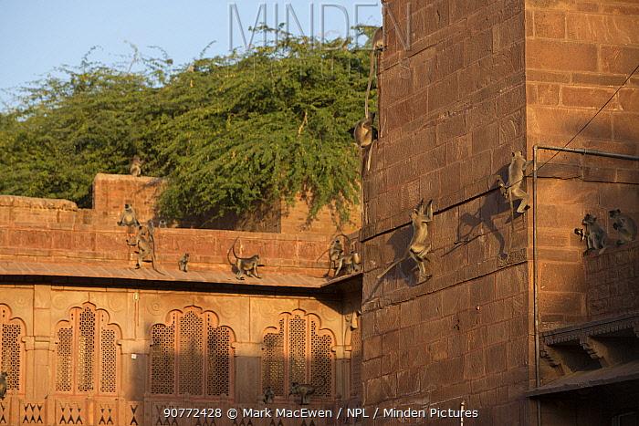 Hanuman Langurs (Semnopithecus entellus) on walls, Mandore Garden, Jodhpur, India. March 2015