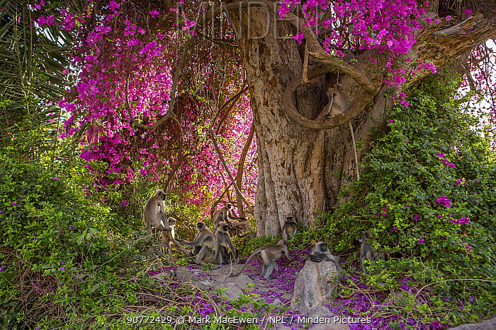 Hanuman langurs (Semnopithecus entellus) in flowering Bougainvillea  tree. Mandore Garden, Jodhpur, India.