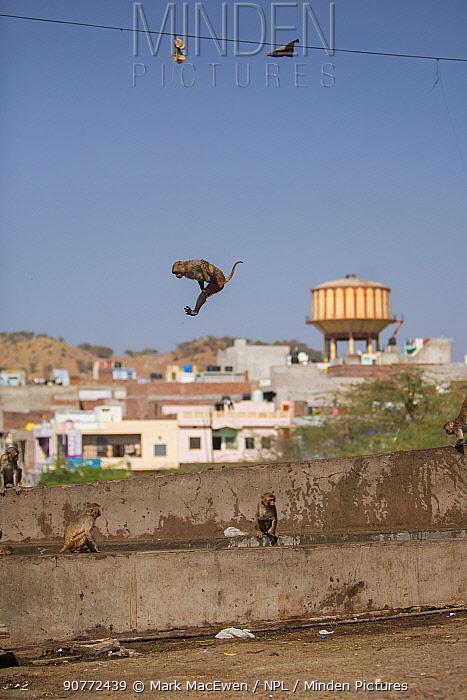 Rhesus macaque (Macaca mulatta) leaping into water trough, Galta Gate, Jaipur, Rajasthan, India.