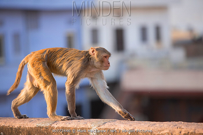 Rhesus macaque monkey (Macaca mulatta) near Galta Gate, Jaipur, Rajasthan, India