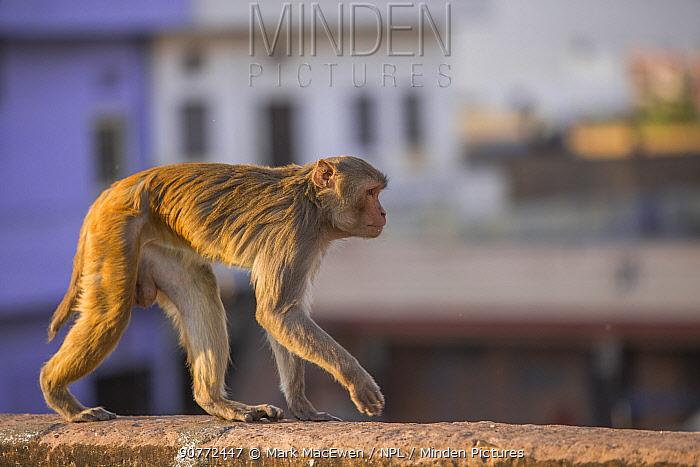 Rhesus macaque monkey (Macaca mulatta) walking along wall near Galta Gate, Jaipur, Rajasthan, India