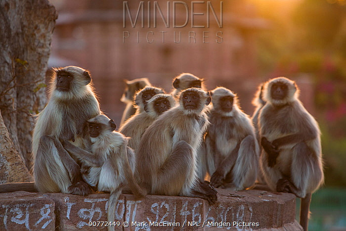 Hanuman Langurs (Semnopithecus entellus) group Mandore Garden, Jodhpur, India. March 2015.