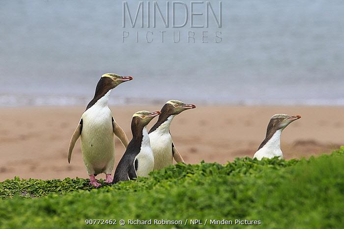 Yellow eyed penguins (Megadyptes antipodes), Sandy Bay on Enderby Island, subantarctic Auckland Islands, New Zealand. January.