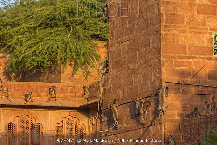 Hanuman Langurs (Semnopithecus entellus) on walls, Mandore Garden, Jodhpur, India.
