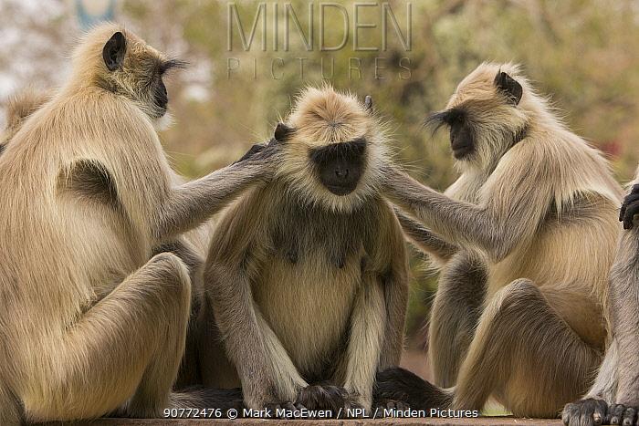 Hanuman Langurs (Semnopithecus entellus) social groming behaviour, Mandore Garden, Jodhpur, India.