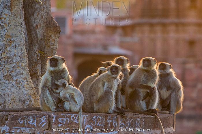Hanuman Langurs (Semnopithecus entellus) group in front of cenotaph, Mandore Garden, Jodhpur, India. March 2015.
