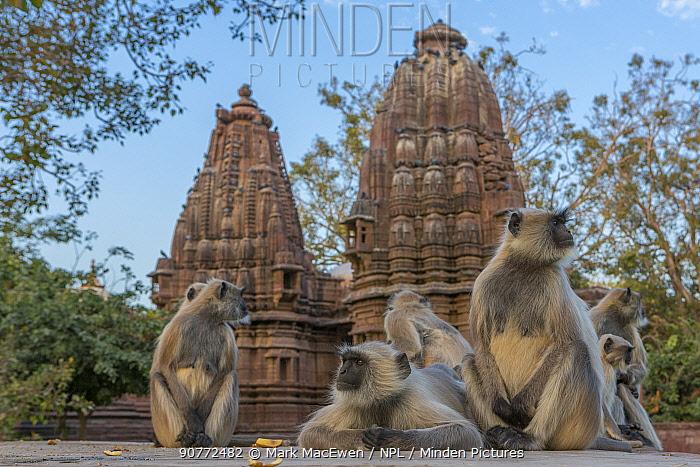 Hanuman Langurs (Semnopithecus entellus) Mandore Garden, Jodhpur, India. March 2015.