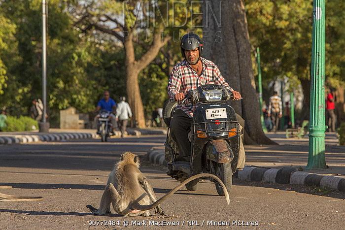 Hanuman Langurs(Semnopithecus entellus) on road with motorcyclist, Mandore Garden, Jodhpur, India.