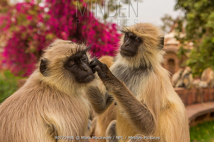 Hanuman Langurs (Semnopithecus entellus) social grooming, Mandore Garden, Jodhpur, India.
