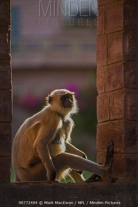 Hanuman Langurs (Semnopithecus entellus) Mandore Garden, Jodhpur, India.