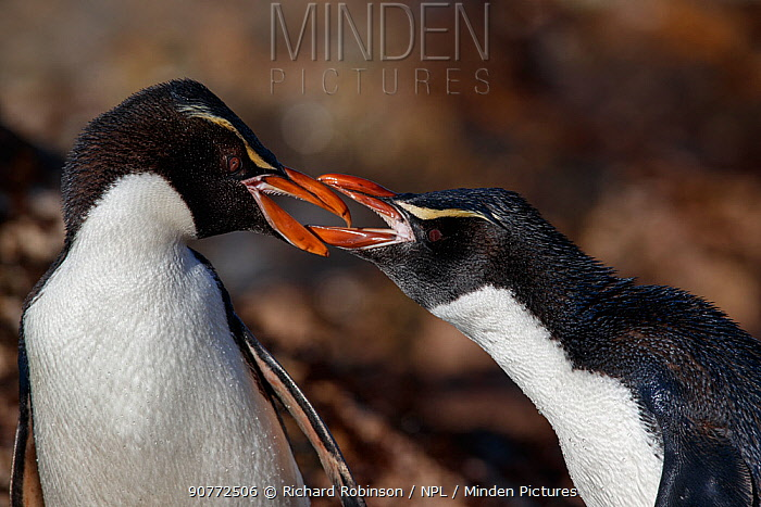Snares crested penguin (Eudyptes robustus) pair arguing, Snares (Tine Heke) Sub Antarctic Island Group, Southern Ocean, New Zealand.