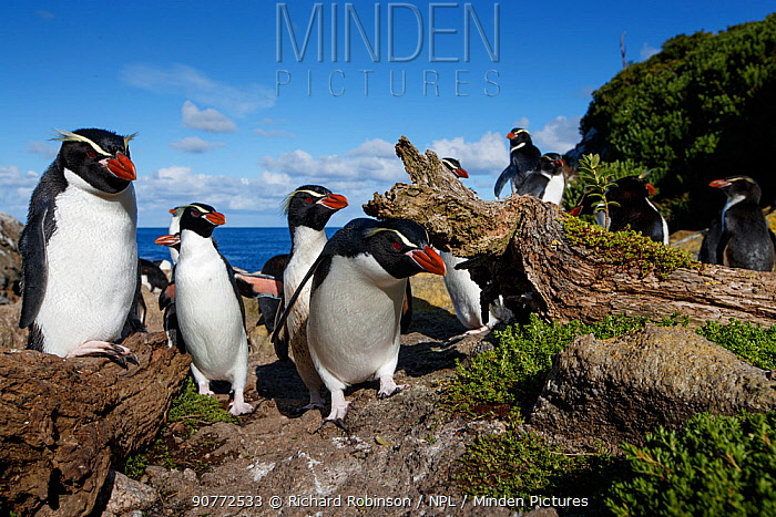 Snares crested penguin (Eudyptes robustus), Snares (Tine Heke) Sub Antarctic Island Group, Southern Ocean, New Zealand. December 2016.