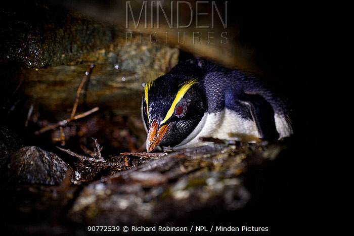 Fiordland crested penguin (Eudyptes pachyrhynchus) nests in a cave, Harrison Cove colony in the Milford Sound, New Zealand. October.