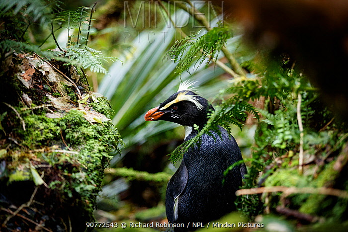 Fiordland crested penguin (Eudyptes pachyrhynchus) returning to its nest through thick forest, Harrison Cove colony in the Milford Sound, New Zealand. October.