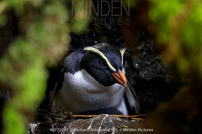 Fiordland crested penguin (Eudyptes pachyrhynchus) sit on nest, Harrison Cove colony in the Milford Sound, New Zealand. October.
