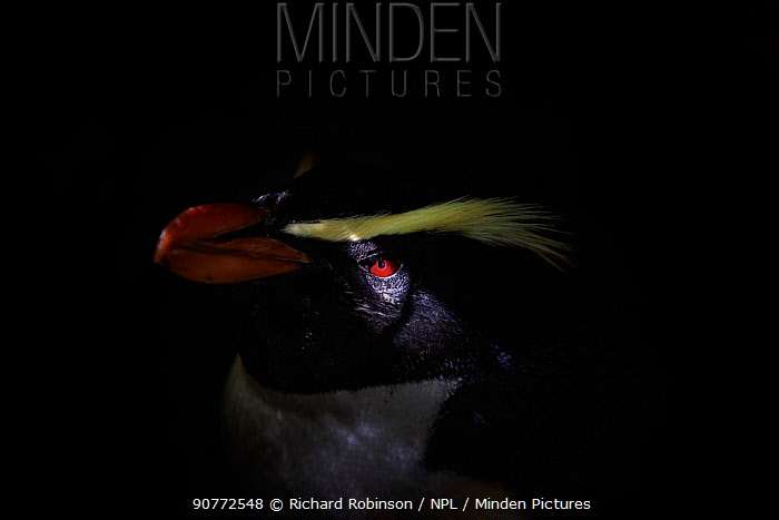 Fiordland crested penguin (Eudyptes pachyrhynchus) portrait,  Harrison Cove colony in the Milford Sound, New Zealand. October.