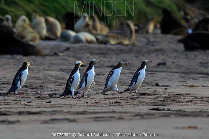 Yellow eyed penguins (Megadyptes antipodes) run the gauntlet through a colony of New Zealand Sea Lions (Phocarctos hookeri), Sandy Bay on Enderby Island, Auckland Islands, New Zealand. January..