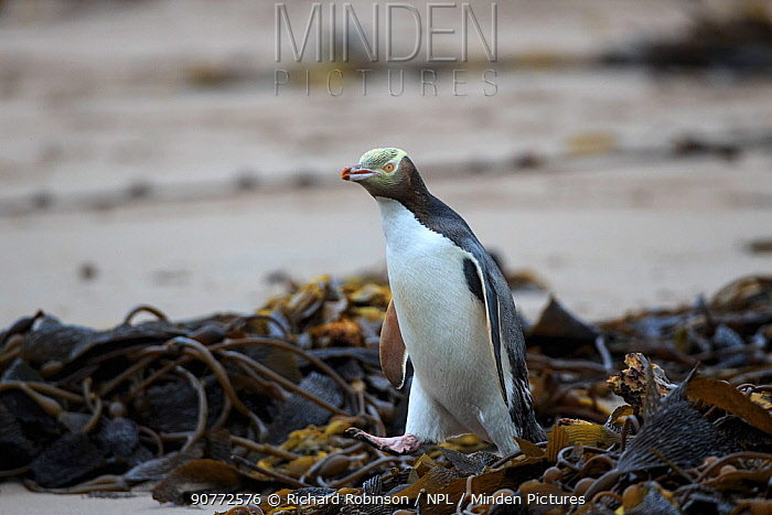 Yellow eyed penguin (Megadyptes antipodes) heading out to sea to forage for food, Sandy Bay on Enderby Island, subantarctic Auckland Islands, New Zealand. January.