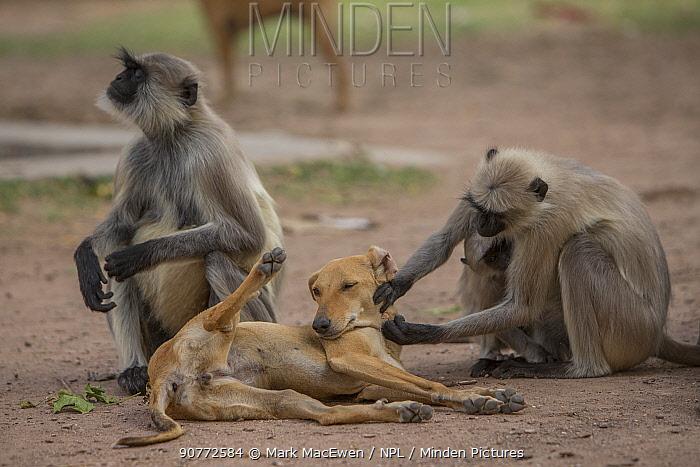 Hanuman langurs (Semnopithecus entellus) grooming dog Mandore Garden, Jodhpur, India.