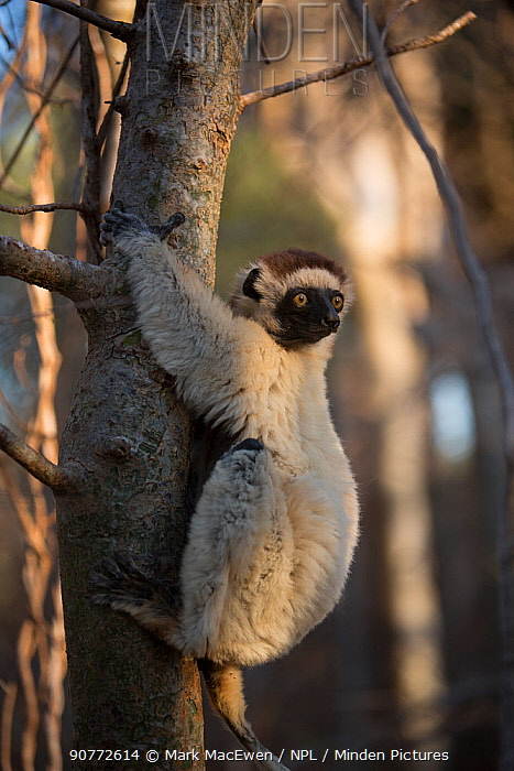 Verreaux's sifakas (Propithecus verreauxi), in spiny forest, Berenty Reserve, Madagascar.