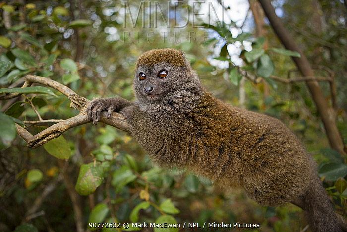 Eastern lesser bamboo lemur (Hapalemur griseus) Andasibe-Mantadia National Park, Alaotra-Mangoro Region, eastern Madagascar.