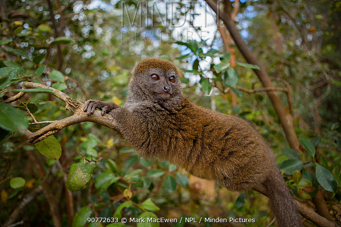 Eastern Lesser Bamboo Lemur (Hapalemur griseus) Andasibe-Mantadia National Park, in Alaotra-Mangoro Region in eastern Madagascar.