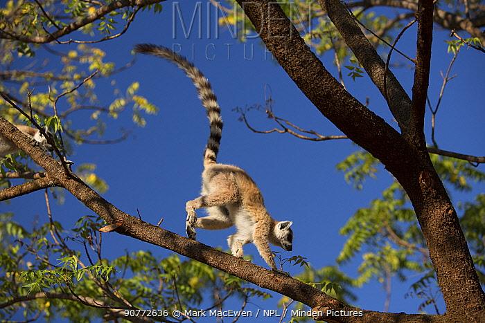 Ring-tailed lemur  (Lemur catta) running along branch, Berenty Reserve, Madagascar.