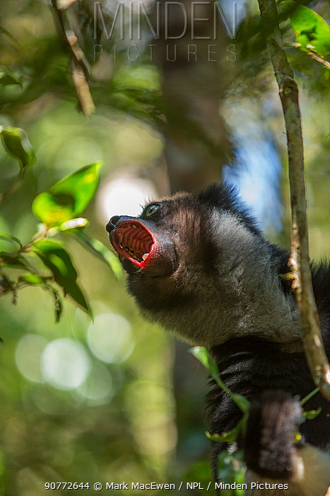 Indri lemur (Indri indi) calling, Andasibe-Mantadia National Park, in Alaotra-Mangoro Region in eastern Madagascar. Critically endangered.