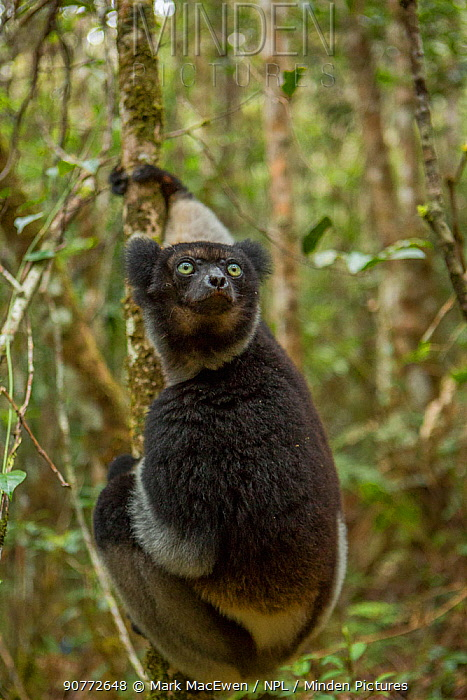 Indri lemur (Indri indri) Andasibe-Mantadia National Park, in Alaotra-Mangoro Region in eastern Madagascar. Critically Endangered species.