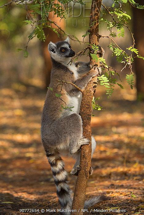 Ring-tailed lemur (Lemur catta) male scent marking tree, Berenty Reserve, Madagascar.
