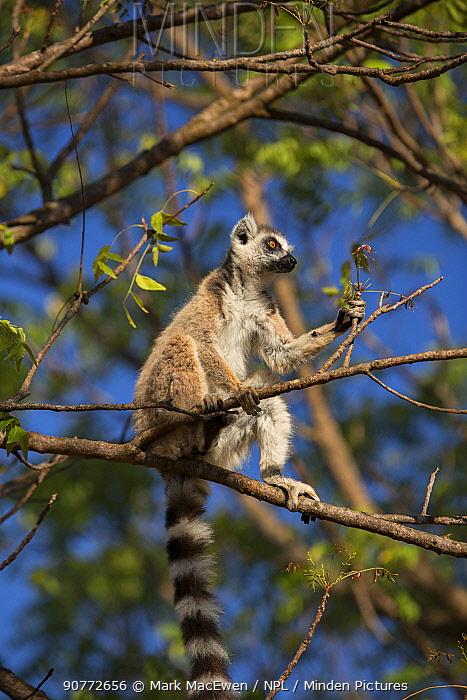 Ring-tailed lemur (Lemur catta) in tree,  Berenty Reserve, Madagascar.