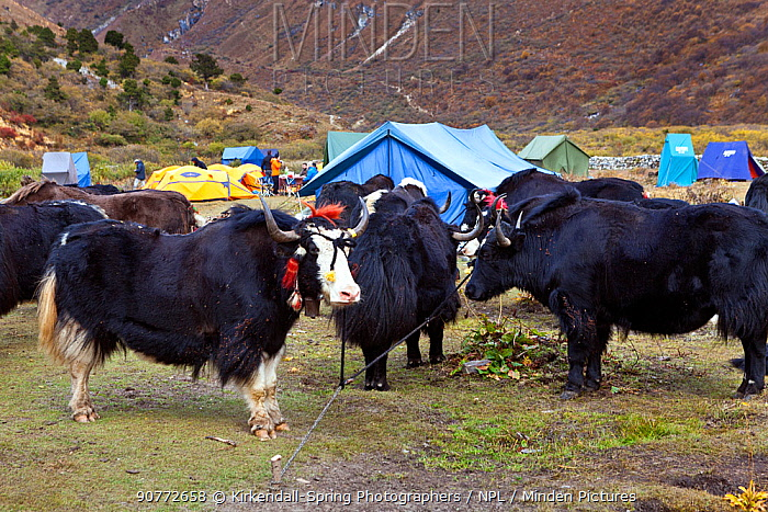 Yaks used as pack animals roped to the ground at Jangothang Campsite, Jhomolhari Trek. Bhutan, October 2014.