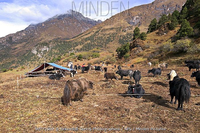 Yak herders camp near Soi Yaksa Valley, along the Jhomolhari Trek. Bhutan, October 2014.