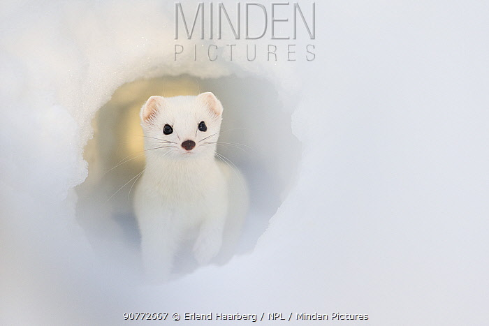 Stoat (Mustela erminea) in snow tunnel, Swedish Lapland, Sweden. January. Third place in Golden Turtle Photography Awards 2017 competition.