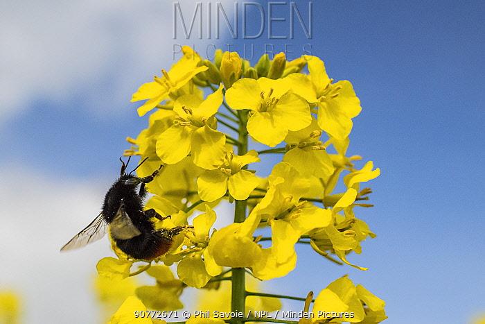Red-tailed bumblebee (Bombus lapidarius) visiting Oilseed rape (Brassica napus)  Monmouthshire, Wales, UK, April.