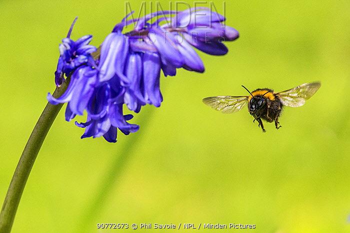 Garden bumblebee (Bombus hortorum)  visiting bluebell (Hyacinthoides non-scripta) Monmouthshire, Wales, UK, April.