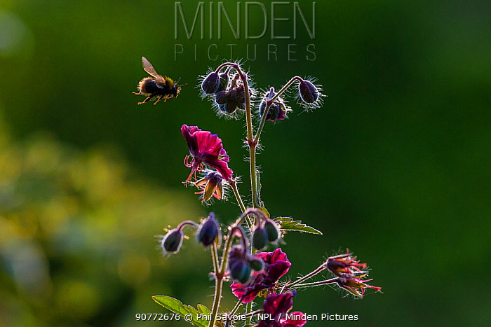 Early bumblebee (Bombus pratorum) flying to feed from Hardy geranium flower, Monmouthshire, Wales, UK. May.