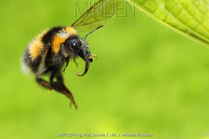Garden bumblebee (Bombus hortorum), in flight,  Monmouthshire, Wales, UK, May.