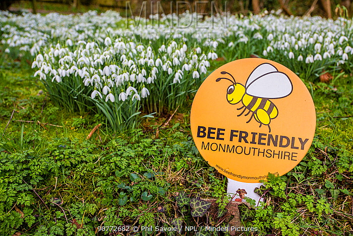 Bee friendly sign with snowdrops (Galanthus nivalis) Monmouthshire Wales UK, February.