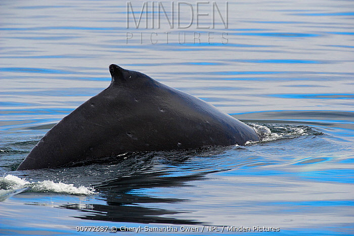 Humpback whale (Megaptera novaeangliae) breaching surfacing with dorsal fin visible, Johnstone Strait, near Telegraph Cove, East coast, Vancouver Island, British Columbia, Canada, July.