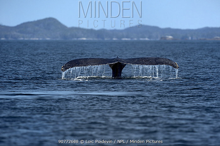 Humpback whale (Megaptera novaeangliae) diving, with tail fluke visible above the surface, British Columbia, Canada , June.