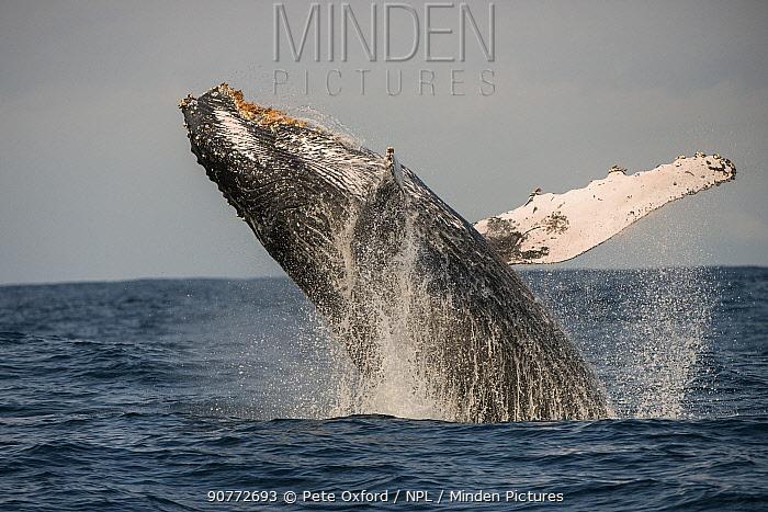 Humpback whale (Megaptera novaeangliae) breaching, Eastern Cape, South Africa