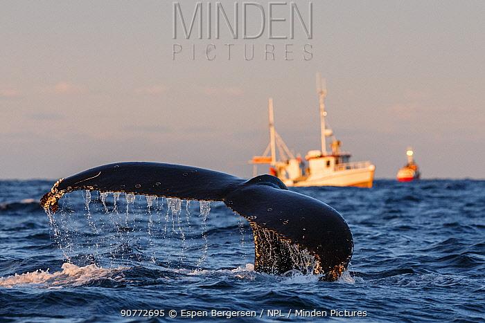 Humpback whale (Megaptera novaeangliae) fluke with fishing boats in background. Andfjorden close to Andoya, Nordland, Northern Norway. January.