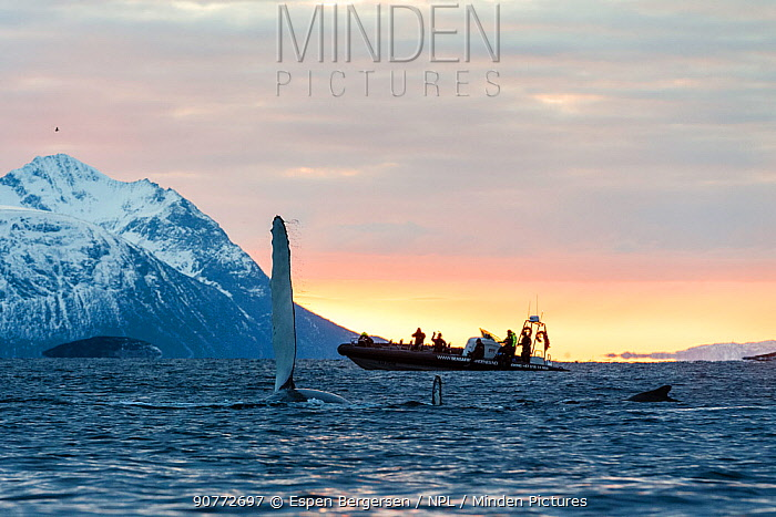 Humpback whale (Megaptera novaeangliae) at surface with pectoral fin raised and whale safari tourists on boat in background, at sunset. Andfjorden close to Senja, Troms, Northern Norway. January.