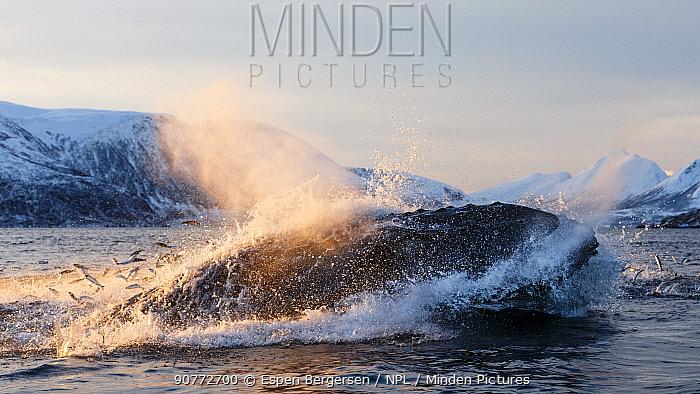 Humpback whales (Megaptera novaeangliae) feeding on Herring (Clupea harengus) Kvaloya, Troms, Northern Norway. November. Sequence 5 of 6.