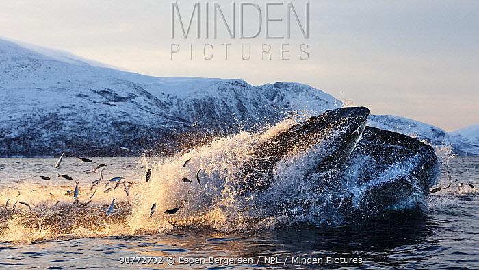 Humpback whales (Megaptera novaeangliae) feeding on Herring (Clupea harengus) Kvaloya, Troms, Northern Norway. November. Sequence 3 of 6.
