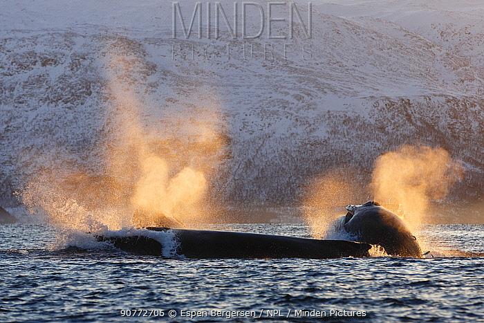 Humpback whales (Megaptera novaeangliae) feeding on Herring (Clupea harengus) Kvaloya, Troms, Northern Norway. November.