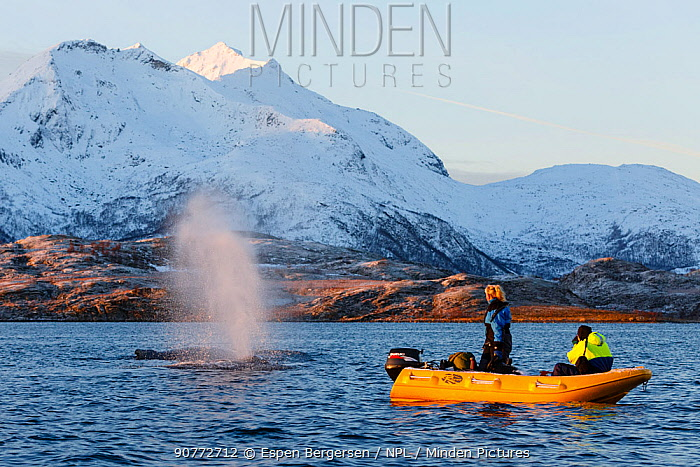 Breathing Humpback whale (Megaptera novaeangliae) and whale watchers in a small boat. Kvaloya, Troms, Northern Norway. November.